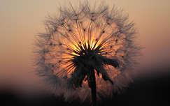 Pitypang alá naplemente