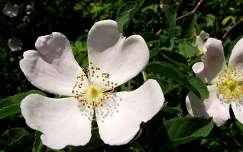 Gyümölcsvirág. Fotó: Csonki