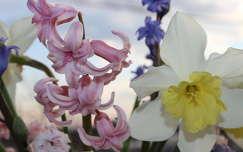 tavaszi virág nárcisz jácint tavasz