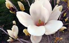 tavaszi virág magnólia tavasz