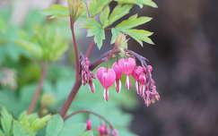 tavaszi virág szívvirág tavasz valentin