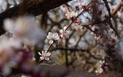 Sárgabarack virágzás