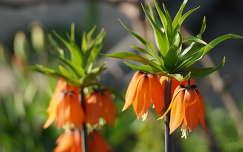 császárkorona tavaszi virág tavasz