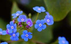 tavaszi virág nefelejcs tavasz anyák napja