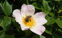 rovar vadrózsa méh