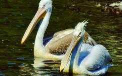 pelikán vizimadár
