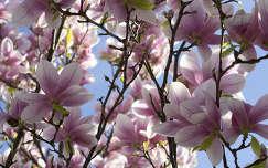 virágzó fa magnólia tavasz