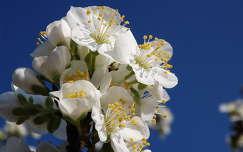 tavasz, cseresznyevirág
