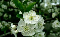 Meggyfa virág, virágzó fa