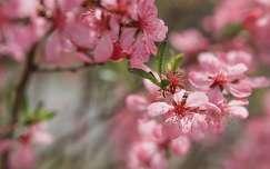 Rózsaszín tavasz