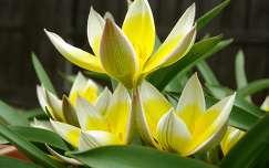 Tarda tulipán
