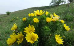 hérics vadvirág tavaszi virág