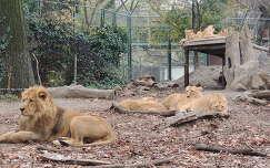 Oroszlándömping a Budapesti Állatkertben