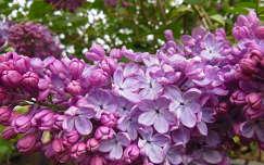 tavaszi virág orgona tavasz
