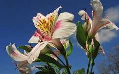 tavaszi virág frézia