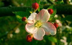 Almafa virág, tavasz, virágzó fa, gyümölcsfa virág