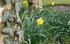 tavaszi virág nárcisz borostyán