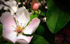 gyümölcsfavirág bimbó