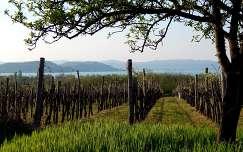 balaton szőlőültetvény tavasz tihanyi-félsziget magyarország