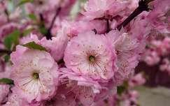 virágzó fa, tavasz, rózsaszín