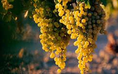 szőlő gyümölcs ősz