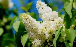 rovar tavaszi virág orgona méh