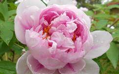 pünkösdi rózsa tavaszi virág vízcsepp