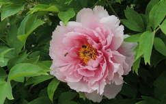 Bazsarózsa (Pünkösdi rózsa)