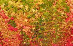 Őszi vadszőlő