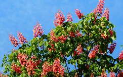 gesztenyevirág virágzó fa tavasz