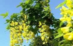 virágzó fa akácvirág