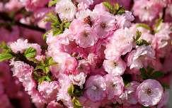 tavaszi virág babarózsa