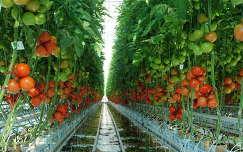 paradicsom zöldség