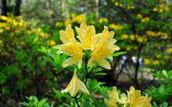 rododendronok a Jeli arborétumban