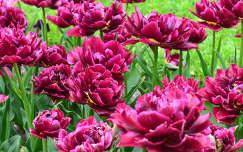 Tulipán,Kolozsvári Botanikus kert