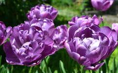 Tulip�n,Kolozsv�ri Botanikus kert
