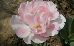 Tulip�n peony