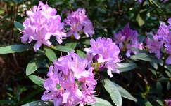rododendron,Jeli arborétum