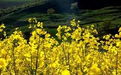 repceföld mező repce tavasz