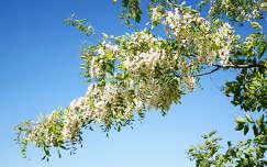 virágzó fa akácvirág tavasz