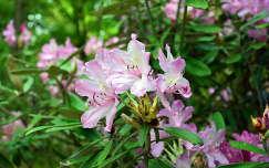 Jeli arborétum,rododendron
