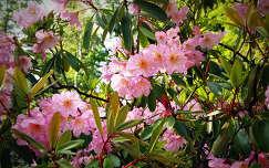 kertek és parkok jeli arborétum tavasz rododendron tavaszi virág