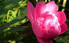pünkösdi rózsa tavaszi virág