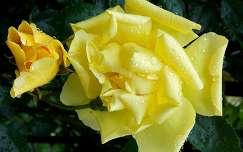 bimbó vízcsepp rózsa nyári virág