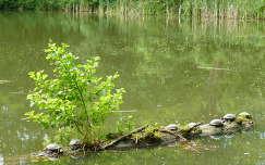 Napozó mocsári teknősök, Bajdázói-tó, Börzsöny