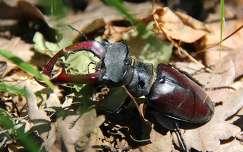 rovar szarvasbogár