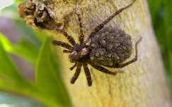 pók hátán pók(ok)