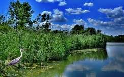 nyár nád gém tó vizimadár tükröződés