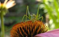 rovar szöcske
