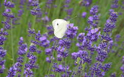 nyári virág lepke vadvirág levendula
